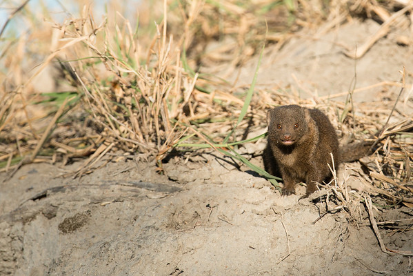Dwarf mongoose.