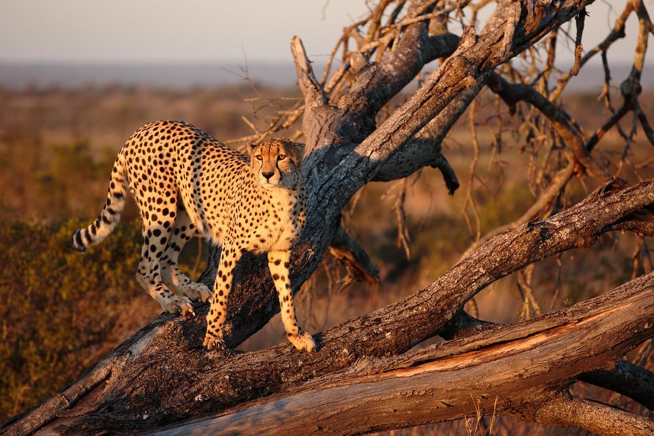 Cheetah in tree.
