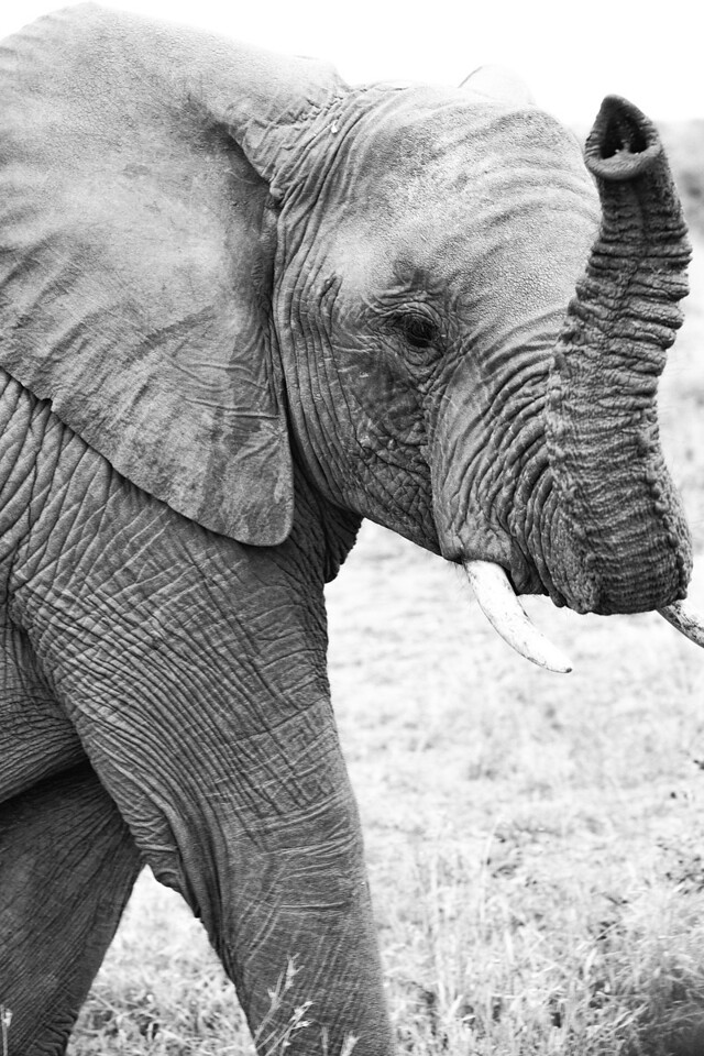 Baby elephant.