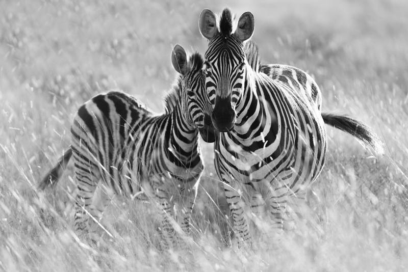 Zebra mother and colt.