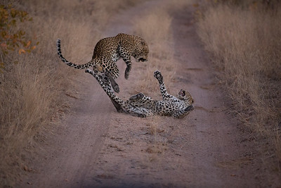 Leopards Honeymooning