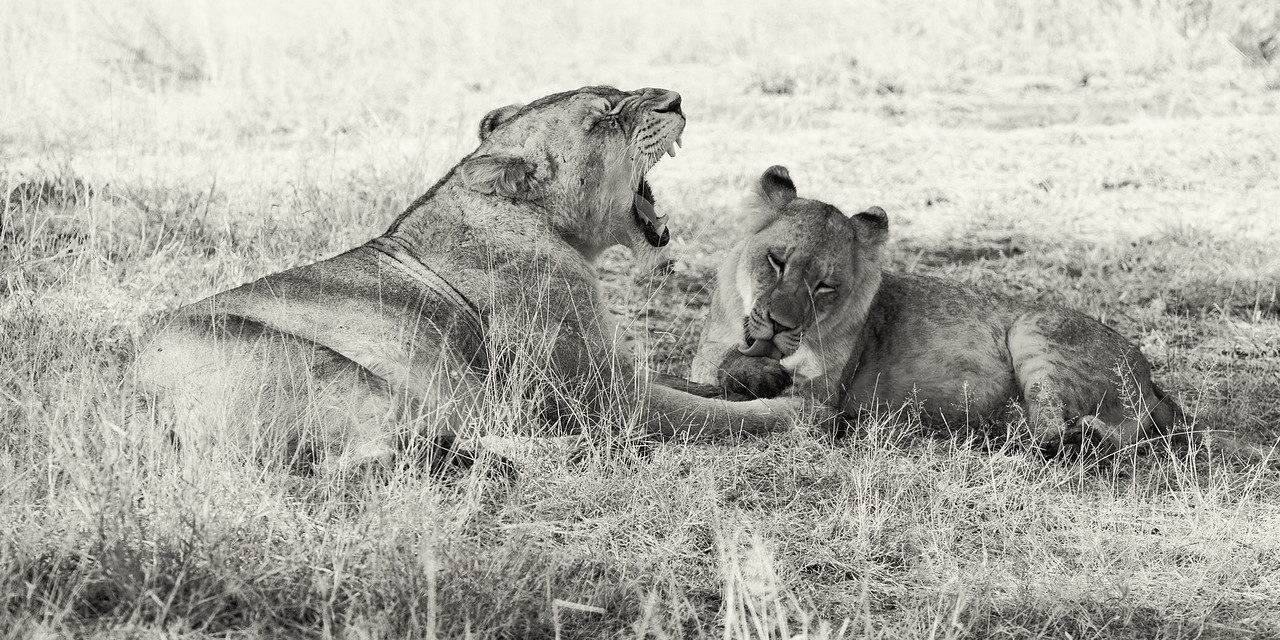 Lions resting, grooming.