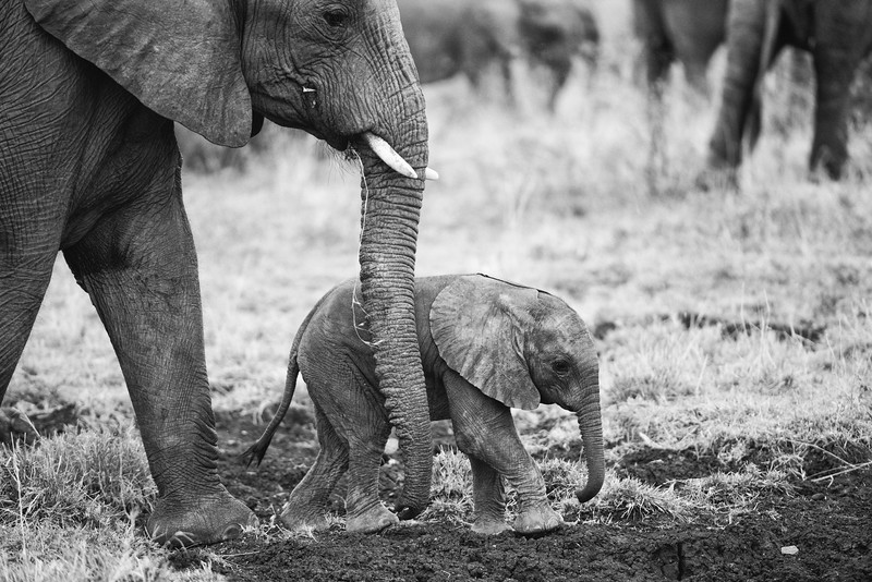 Baby elephant and mother.
