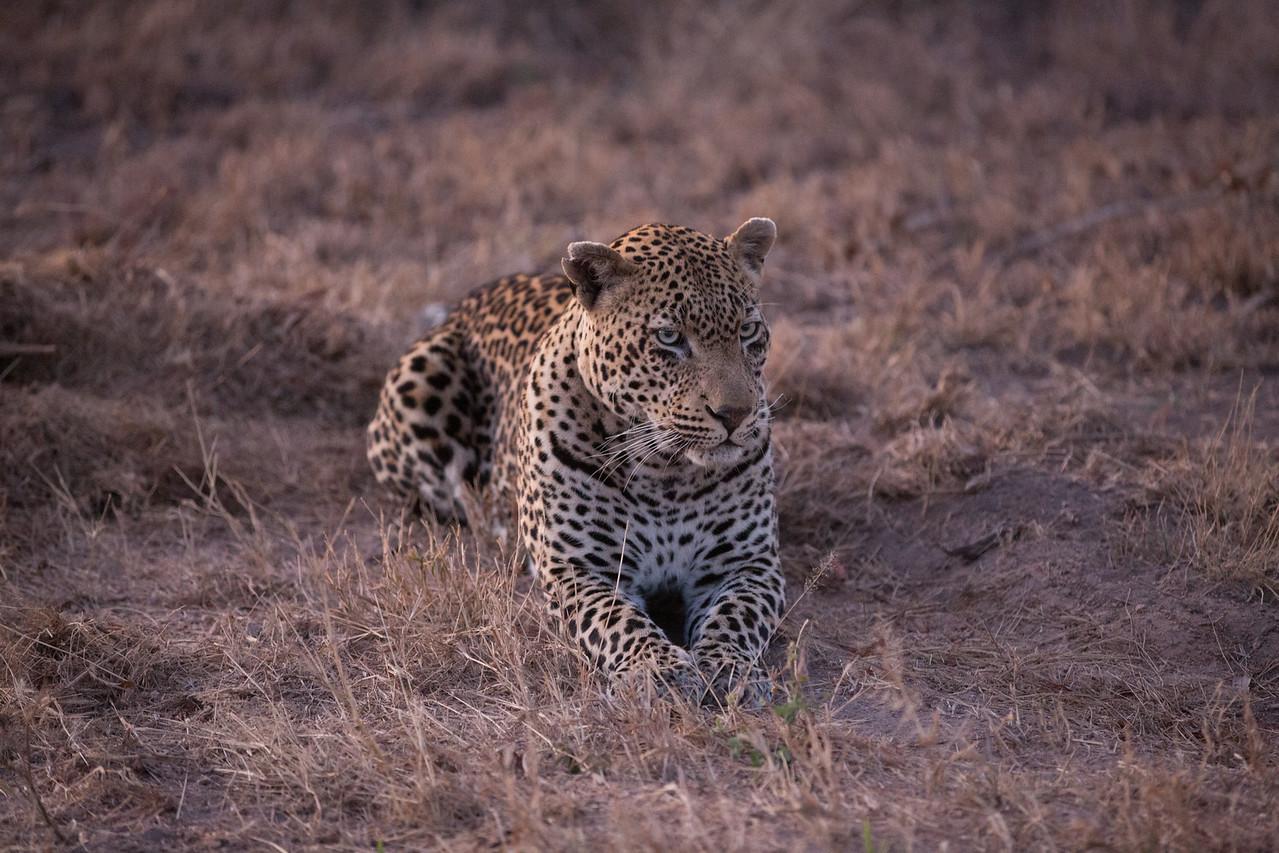 Male Leopard, post-honeymoon