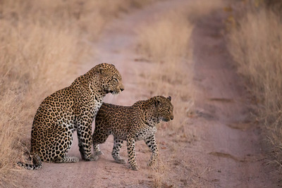 "Leopard mating couple.  Female approaches the male, essentially saying ""I'm ready!"""