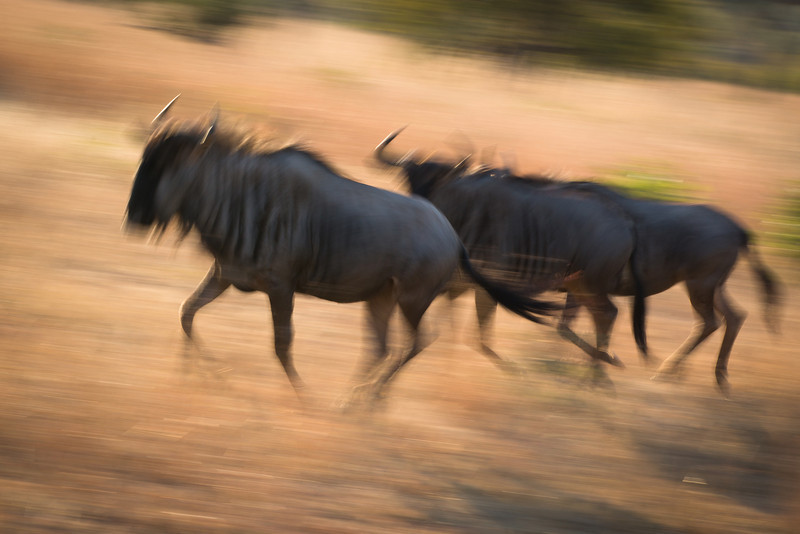 Wildebeest, intentionally shot with slow shutter speed to show the movement.