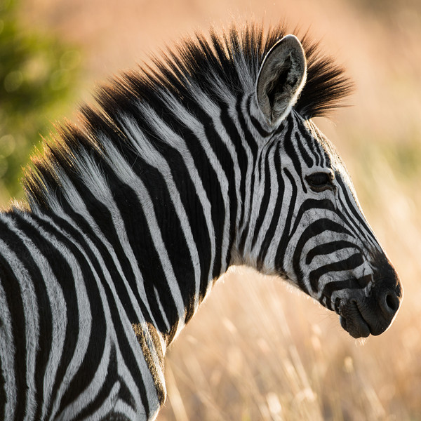 Zebra hair-do.
