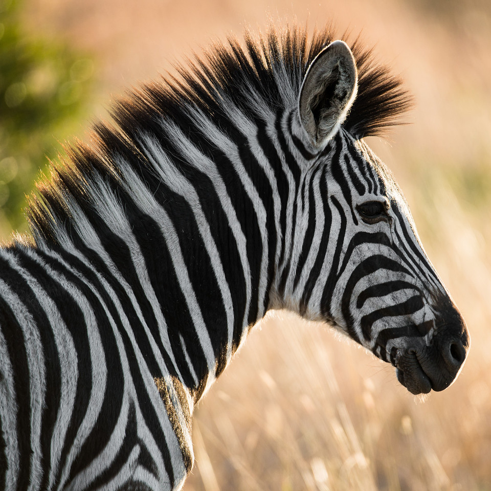 Zebra hair-do.