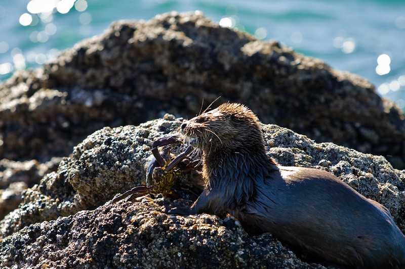 Sea Otter killing a crab<br /> Chiloe, Chile