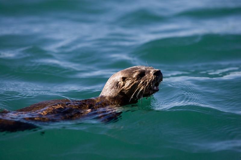 Sea Otter,<br /> Chileo, Chile
