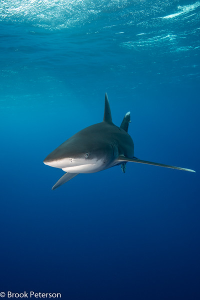 Oceanic White Tip Approaching