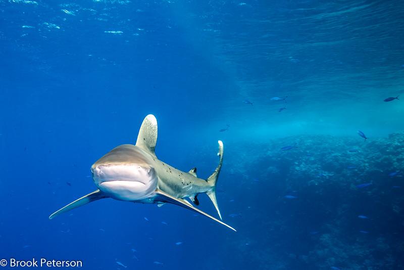 Shark with Parasites