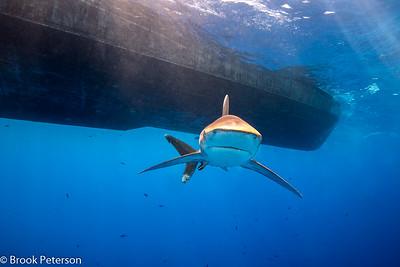 Oceanic White Tip Shark