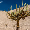 "The Candelabra Cactus features tentacle ""branches"" that collect moisture from the air."