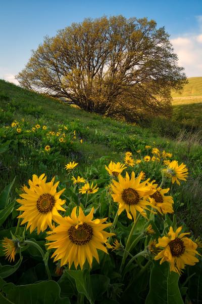 Columbia Hills Tree of Life