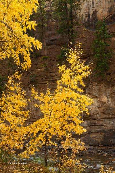Fall Aspens along Crystal River  #2