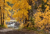 Fall Aspens along Crystal River #1