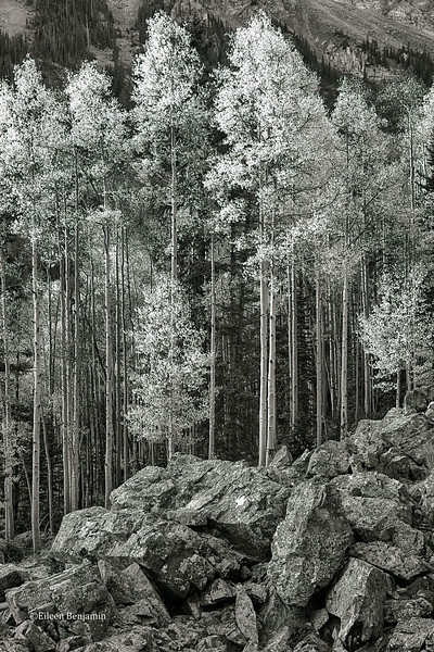 Fall Aspens and Rocks in BW