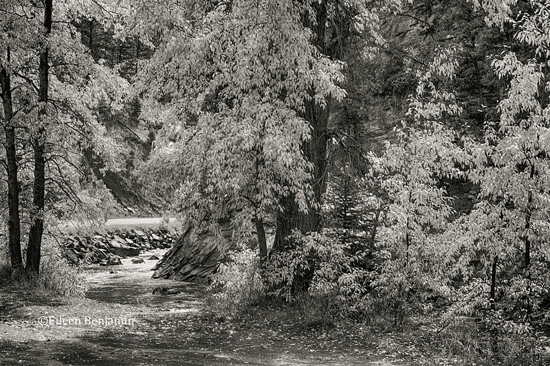 Fall Aspens along Crystal River #1 in BW