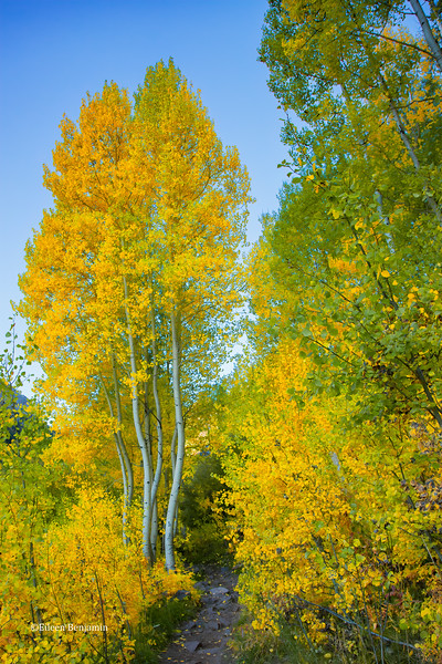 Independence Pass Aspens #4