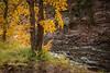 Fall Aspens along Crystal River #4