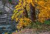 Fall Aspens along Crystal River #5