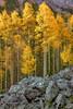 Fall Aspens and Rocks
