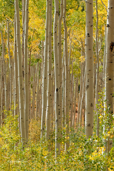 Independence Pass Aspens #3