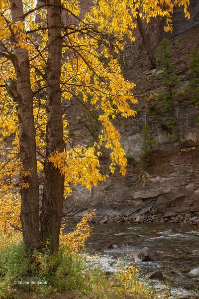 Fall Aspens along Crystal River #3