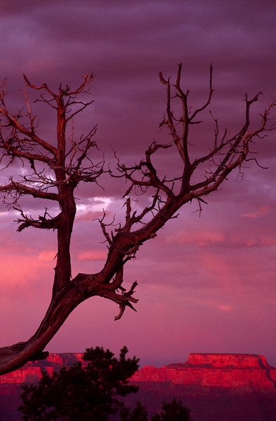 Grand Canyon Tree Sunset (vert)