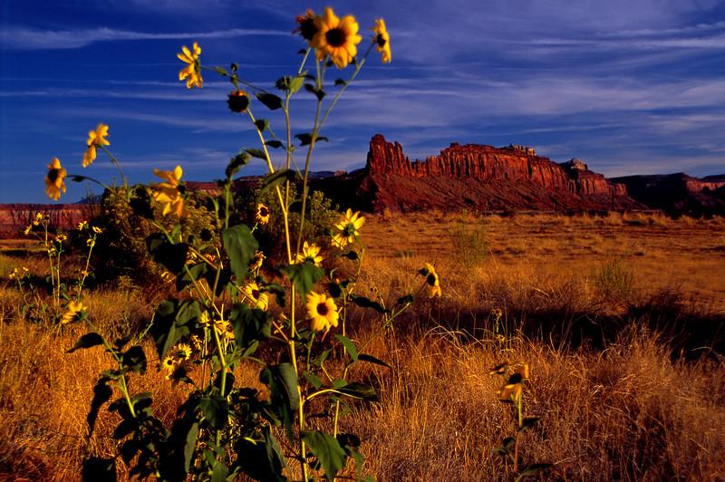 Canyonlands Sunflowers