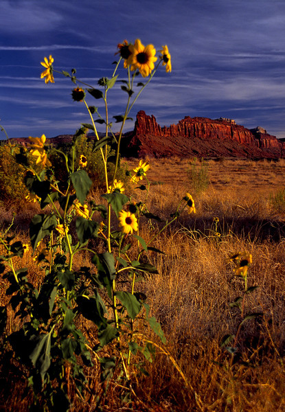 Canyonlands Sunflowers (v)