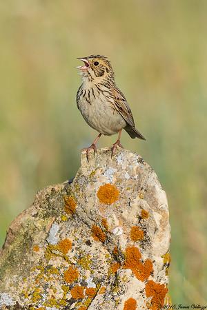 Baird's Sparrow, Ammodramus bairdii
