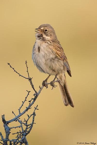 Sagebrush Sparrow, Artemisiospiza nevadensis