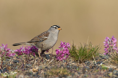 White-crowned Sparrow, Zonotrichia leucophrys
