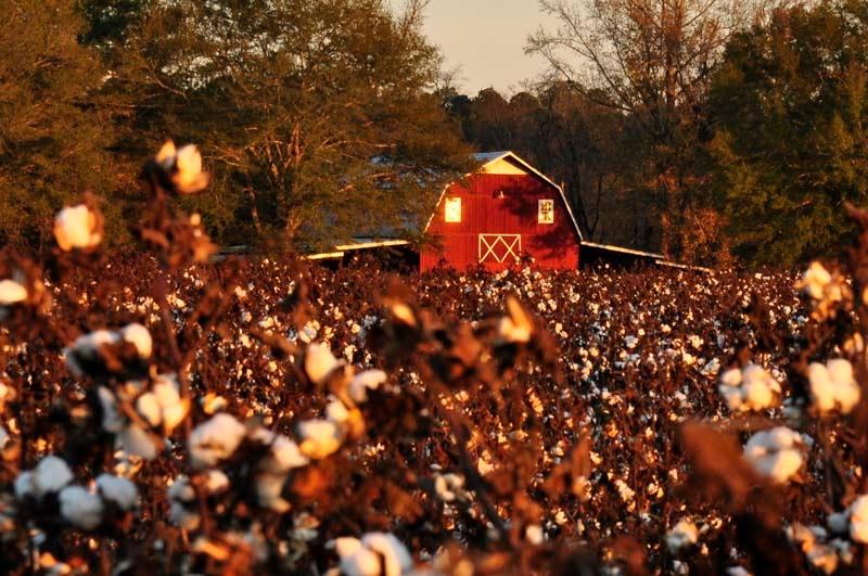 Alabama Cotton II