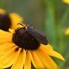 I think Virginia Moth
