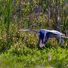 Limestone Park, May 3, Great Blue Heron