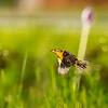 Eastern Meadowlark At Limestone Park, May 3, 2020