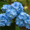 Hydrangeas- Aldridge Gardens-Taking a Walk