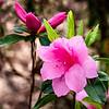Azalea (Rhododendron Ericaceae)