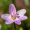 Virginia Spring Beauty (Claytonia Virginica, a wildflower)