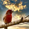 Purple Finch_Boris Datnow
