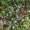 bluets on moss_Claire Datnow
