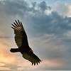 Turkey Vulture_Boris Datnow