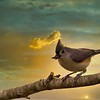 Tufted Titmouse_Boris Datnow