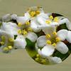 Blooming Nikon (Flowermaximus Nikonia)