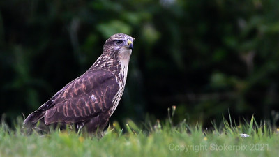 Early Buzzard Gets The Worm