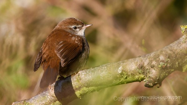 Cetty's Warbler