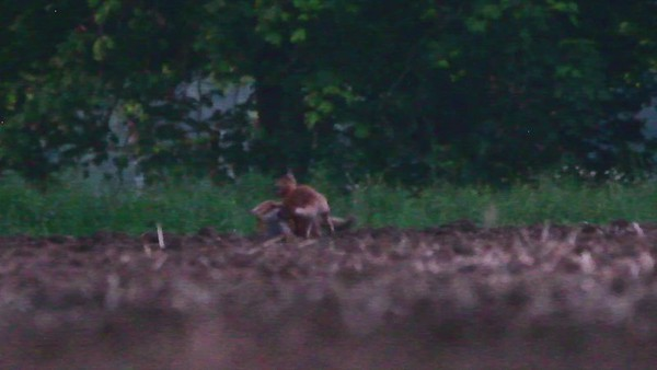 Fox Cubs Romping (Low Quality)